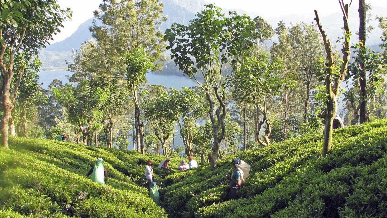 Découvrez le Sri Lanka à travers la route du thé, par EnjoyTEA